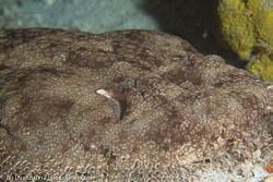 BD-111124-Raja-Ampat-5102-Eucrossorhinus-dasypogon-(Bleeker.-1867)-[Tasselled-Wobbegong.-Tofsprydd-Wobbegong].jpg